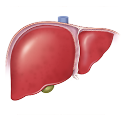 Liver: Anatomy & Physiology Module
