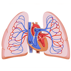 Lungs: Anatomy & Physiology Module