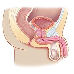 Prostate: Anatomy & Physiology Module
