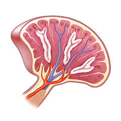 Spleen: Anatomy & Physiology Module