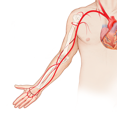 Arm-Arterial: Anatomy & Physiology Module