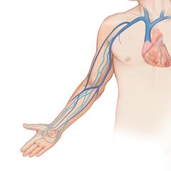 Arm-Venous: Anatomy & Physiology Module
