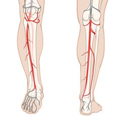 Leg-Arterial: Anatomy & Physiology Module