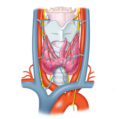 Thyroid: Anatomy & Physiology Module