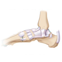 Ankle: Anatomy & Physiology Module