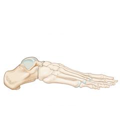 Foot: Anatomy & Physiology Module