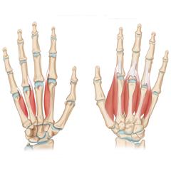Hand & Finger: Anatomy & Physiology Module