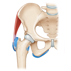 Hip: Anatomy & Physiology Module