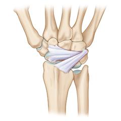 Wrist: Anatomy & Physiology Module