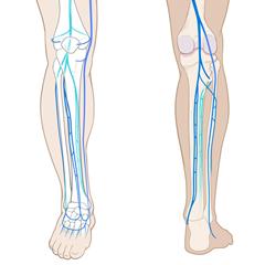 Leg-Venous: Anatomy & Physiology Module