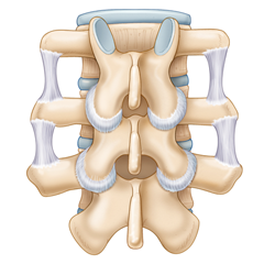 Spine: Anatomy & Physiology Module